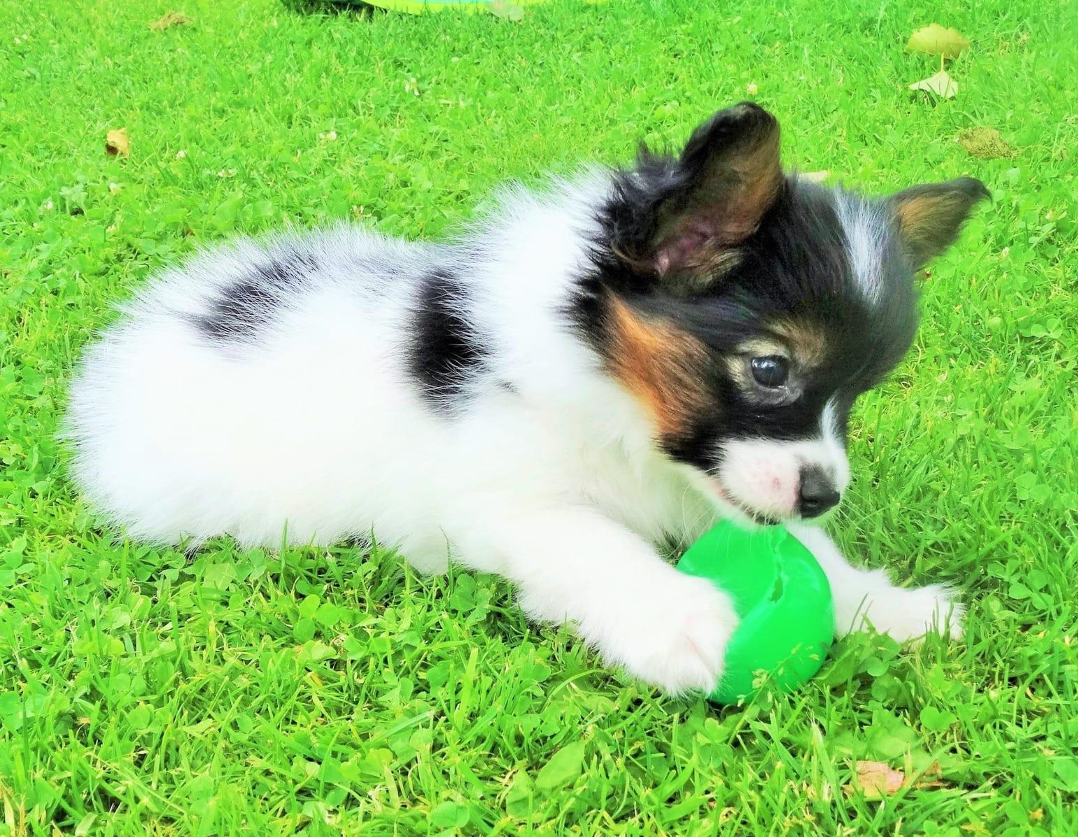 Pomeranian - Petshop papillon ...